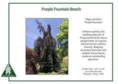 Beech Tree, Fagus sylvatica 'Purple Fountain'   Iseli Nursery, zone 5