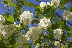 White Acacia - Language of Flowers: Elegance
