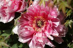 Флористика: популярный флористический форум - Показать сообщение отдельно - Пион