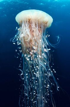 We are diving off the coast of Gabon, under eerie oil platforms. Here there is amazing marine life, like the jellyfish in the photo, with dozens of silver littl