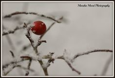 Red berry in the snow............
