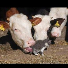 1000 images about cats love cows on pinterest  calves