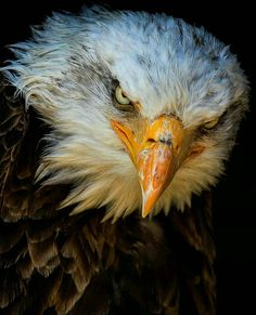 """5,430 Likes, 114 Comments - Best Bird Shots (@bestbirdshots) on Instagram: """"Congrats to @frenchbutwild for his best bird shot of Bald eagle. Brilliant portrait capture with…"""""""