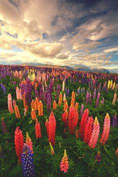 Lupin Fields, Tekapo - New Zealand | James Appleton