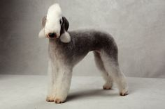Bedlington Terrier  Westminster's Best of Breed - Photographs - NYTimes.com