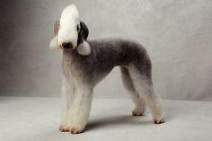 Bedlington Terrier  Westminster's Best of Breed - Photographs - NYTimes.com