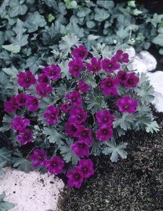 Geranium cinereum Purple Pillow