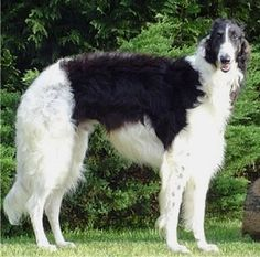 "Borzoi - is a hound, 26 - 28"" at shoulder, weights 60 - 105#"