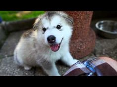 Alaskan Malamute - Little Monsters (featured in Purina® Pro Plan® Commercial) - http://www.baubaunews.com/bau-blog/alaskan-malamute-little-monsters-featured-in-purina-pro-plan-commercial/ http://www.baubaunews.com/wp-includes/images/smilies/icon_wink.gif