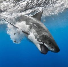 A diving great white :)