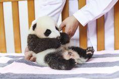 I am a Two-month-old female giant panda who named Hua Sheng or Peanut in English. Baby Animals, Baby Pandas, Cute Panda, Panda Bear, Cute Puppies, Funny Jokes, Camp Fire, Camping, English