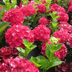 Hydrangea Magical® Ruby Red at Wayside Gardens
