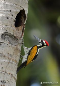 Chrysocolaptes festivus(White-naped Woodpecker)