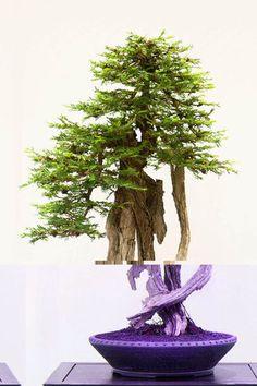 ♦♦Don't you simply love this beautiful #bonsai tree.ᴥ♥       #BonsaiInspiration