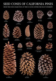 25 DIY Acorn Ideas for Easy & Inexpensive Fall Decor!It's my humble opinion that simple fall decor is the best type of fall decor, and even better if it comes from natural and organic elements-- like the 25 DIY acorn fall decor ideas below.acorn ID (image Giant Pine Cones, Pine Cone Art, Pine Cone Crafts, Pine Cone Wreath, Pinecone Crafts Kids, Fall Crafts, Sugar Pine Cones, Cone Trees, Tree Identification