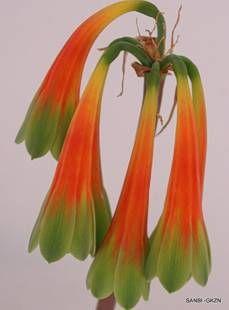 Cyrtanthus obliquus flowers