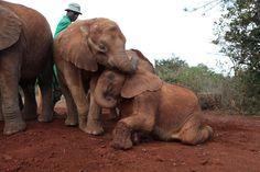 Elephant Orphants being cared by:  The David Sheldrick Wildlife Trust