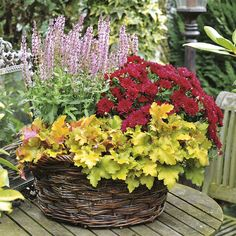 Chrysanthemen Kingdom Felipe jetzt günstig in Ihrem MEIN SCHÖNER GARTEN - Gartencenter schnell und bequem online bestellen.