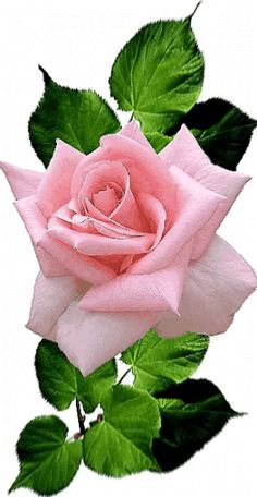 growing hybrid tea roses in containers Beautiful Flowers Wallpapers, Beautiful Rose Flowers, Exotic Flowers, Amazing Flowers, Pretty Flowers, Pink Flowers, Rose Reference, Rose Flower Wallpaper, Rose Images