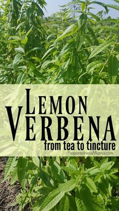 Growing & Using Lemon Verbena 2020 Lemon verbena has a refreshing taste and can be used in many herbal recipes. From sun tea to infused vinegar to glycerin tincture, you are sure to use it all