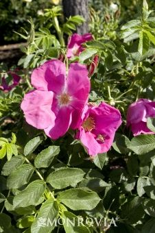 'Wildberry Breeze' (Hybrid Rugosa) Zary, USA, 1999 - vibrant lavender pink, clove-scented flowers with yellow centers; semi-glossy foliage is exceptionally disease resistant; pumpkin-colored plump rose hips; thorny; moderate to fast growth to 3.5'x3', Z6