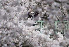 Цветение сакуры в Японии « FotoRelax