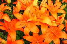 Lilies: How to Plant, Grow, and Care for Lily Flowers | The Old Farmer's Almanac