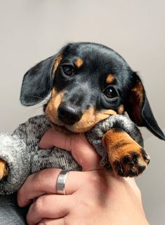 Weenie Dogs, Dachshund Puppies, Dachshund Love, Cute Dogs And Puppies, Baby Dogs, Cutest Dogs, Doggies, Daschund, Baby Animals Super Cute