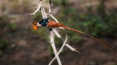 Terpsiphone paradisi, Asian Paradise Flycatcher  Chinese Name: 壽帶  Family: Monarquinae, Macau