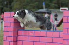 How to compete at dog agility