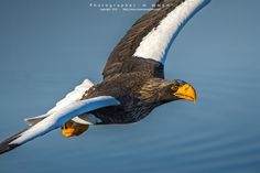 Sea Eagle... by mommam 777 on 500px