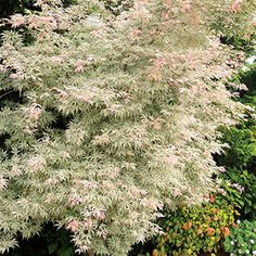 Ukigumo Japanese Maple. Variegated green with white in summer, white pink flushnew growth, peach to deep red in fall. dwarf 6 ft. tall x 6 ft. wide. Full sun/part shade. Zone 6-8.