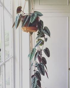 # for # green indoor hanging – House Plants Hanging Plants, Potted Plants, Indoor Plants, Foliage Plants, Porch Plants, Diy Hanging, Indoor Garden, Outdoor Gardens, Cactus Plante