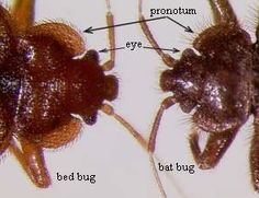 bed bugs look like http://bedbugslooklike.com/services/detail/bed-bugs/
