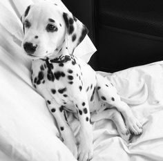 So about what I said...: Have a fun weekend blog. Dalmatian puppy in black and white. #Puppy