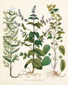 HERBS DE MENTHOL NO. 2 - GICLEE CANVAS BOTANICAL PRINT This charming botanical has been adapted from an antique botanical illustration, digitally enhanced then added to a lightly aged background which
