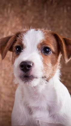 Beautiful Creatures, Animals Beautiful, Cute Puppies, Dogs And Puppies, Jack Russell Puppies, Parson Russell Terrier, Terrier Dogs, Cute Baby Animals, Pets