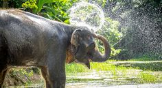 The first true elephant sanctuary in Phuket pioneering ethical elephant tourism. A partnership with world renowned Elephant Nature Park in Chiang Mai.