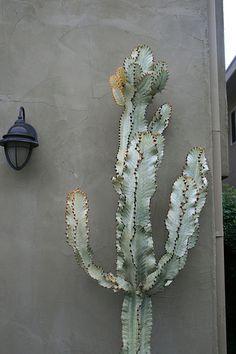 Euphorbia ammak 'Variegata'