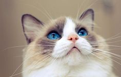 gatos-gigantes-6-racas-que-voce-precisa-conhecer