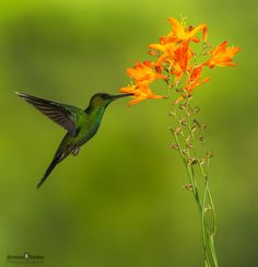 BUFF TAILED CORONET by Christian Sanchez on 500px