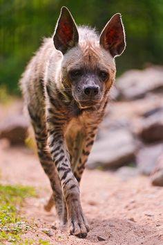 thepredatorblog:  Striped Hyena (by Tambako the Jaguar)