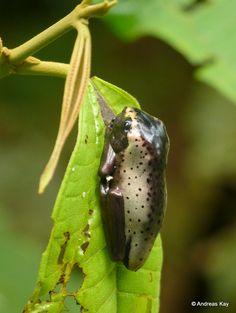 https://flic.kr/p/SJ4ATd | Juvenile Map Tree Frog, Hypsiboas geographicus | from Ecuador: www.flickr.com/andreaskay/albums
