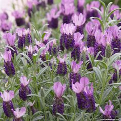 Lavender Anouk has dark purple flowerheads topped with delicate mauve-lilac flags. Sweetly fragrant, it's perfect for containers or perennial beds. Pollinator friendly - deer and rabbits avoid it. Easily grown and long flowering, use 'Anouk' to perk up your summer garden. (Lavandula stoechas)