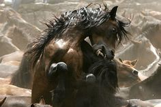 wild horses http://whistlingtalent.files.wordpress.com/2010/09/fighting-wild-horses.jpg