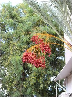 A date palm in my neighbourhood;don't know which date this is....