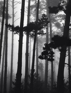Brett WESTON :: Pines in Fog, Monterey, 1962