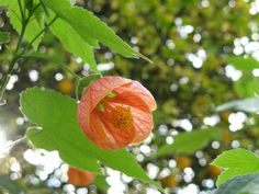 Abutilon pictum – Painted Indian Mallow, Flowering Maple See its profile and more photos here ◢ http://worldoffloweringplants.com/abutilon-pictum-painted-indian-mallow-flowering-maple/