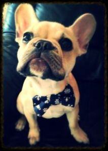 French Bulldog in a Bow Tie!!! I think ive just died from cuteness!!!