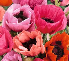 Strike up the color band. Roberta's Striking Perennial Oriental poppy paints a rich vibrant color palette in coral, magenta, deep pink, crimson, salmon, and orchid shades. Page 1 QVC.com